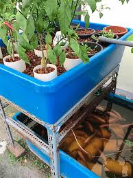 urban farmers grow fish and greens together with aquaponics