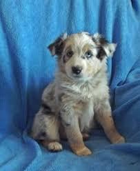 australian shepherd 7 mesi dorkie puppy for sale in jaffrey nh adn 24833 on puppyfinder com
