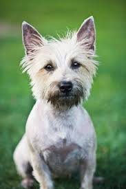 cairn hair cuts cairn terrier dog grooming tips pets