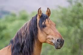 mustang horse return to freedom u2013 spirit
