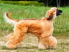 afghan hound rescue north carolina afghan hound breed information