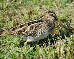 North Dakota travel synonym images Mystery bird wilson 39 s snipe gallinago delicata grrlscientist jpg