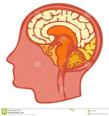 Image Of Brain Anatomy Brain Anatomy Scheme Stock Illustration Image 65828119