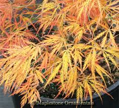 lace leaf japanese maples maplestone ornamentals