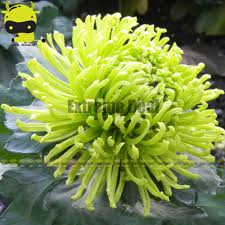 online buy wholesale green chrysanthemum from china green