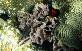 Strawberry Vase Sponge Sponges Usvi Caribbean