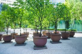 growing pomegranate trees in containers