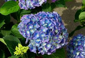 Hydrangea Flowers Free Photo Hydrangea Flowers Petals Blue Free Image On