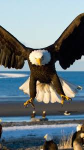 stellers sea eagle wallpapers iphone 6 animal bald eagle wallpaper id 659739