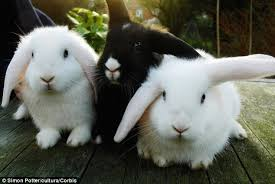 Happy Hutch Company Rabbits May Be Stressed By Hutch Mates And A Lack Of Exercise