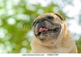 pug blurry background stock photo 421168261