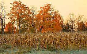 field corn autumn nature trees thanksgiving landscapes