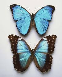 blue morpho butterflies are my favorite my style