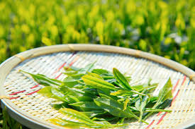 plants native to china introduction to camellia sinensis the tea plant