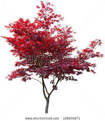 maple tree symbolism japanese maple tree on white stock photo royalty free 126859271