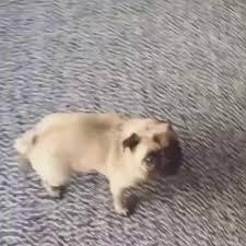 Hyper Dog Meme - i has a hotdog hyper funny dog pictures dog memes puppy