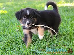 australian shepherd mini puppy truce x rookie puppies mini american shepherd australian