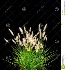 isolated ornamental grass on black stock image image 6222141