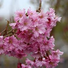 Trees With Pink Flowers Flowering Cherry Trees Prunus Mail Order Trees