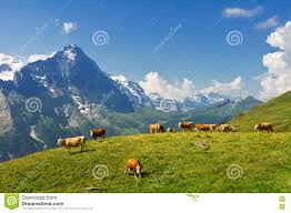 Alps Mountains Map Beautiful Idyllic Alpine Landscape With Cows Alps Mountains And