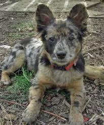 australian shepherd lab mix for sale 11 dangerously fluffy german shepherd mixes