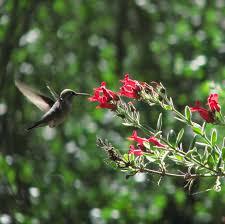 Hummingbird Plant Hummingbird Walk Adults Environmental Nature Center
