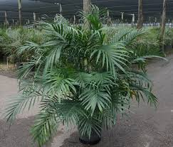 Cateracterum Palm by Palms Charlie Cook Associates