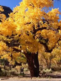 Cottonwood Tree Flowers - the cottonwoods of northern new mexico are the most beautiful