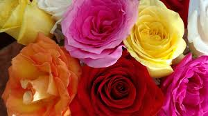 roses colors bloom free pictures on pixabay