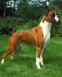 3 legged boxer dog average size and weight of boxer dogs annie many www