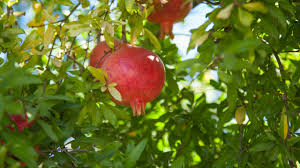 native hedge plants the versatile pomegranate tree or espalier shrub hedge or