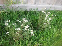 texifornia garden bloom day my backyard experiment