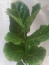 Fiddle Leaf Fig Tree Care by Fiddle Leaf Fig Tree