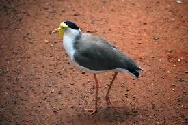 native plants of the sydney region birds identification of australian birds sydney and blue