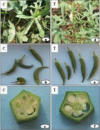 Okra Plant Diseases - evaluation of vegetative growth parameters in biofield treated
