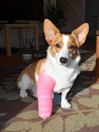 hurt my leg aww pinterest corgis corgi and dog