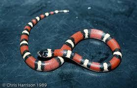 english pattern snake guides louisiana milksnake common snakes identification guide for the