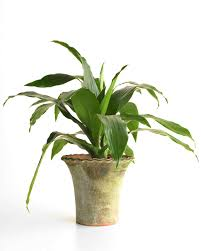 Low Light Flowering Plants by Houseplants For Any Kind Of Light Martha Stewart