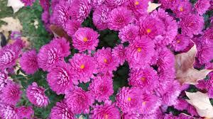 mums flower my love affair with u201cmums u201d gardendaze