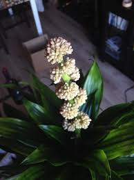 photo of the closeup of buds sepals and receptacles of dracaena