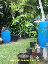 how to grow moringa oleifera in containers bestmoringatrees
