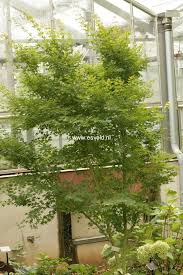 era nurseries buy trees online wholesale australian native 207 best trees u0026 shrubs images on pinterest acer palmatum