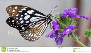 black and white butterfly sitting on purple flower royalty free
