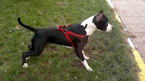 american pitbull terrier yavru american pitbull terrier şila youtube