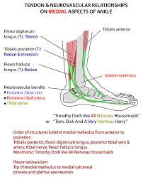Tendon Synovial Sheath Instant Anatomy Lower Limb Areas Organs Foot Synovial Sheaths