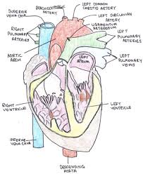 Gross Anatomy Of The Human Heart Great Vessels Of The Heart Teachmeanatomy
