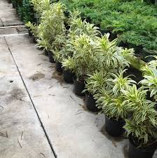 song of india dracaena reflexa sharon u0027s plants sharon u0027s plants