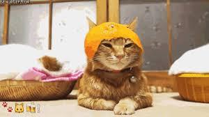 Random Cat Meme - cat meme gif find download on gifer