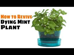 How To Save A Dying Plant How To Revive Dying Mint Plant Youtube