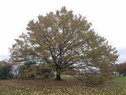 tallinn s oak of russalka shortlisted for the european tree of